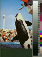 """""""Killer Whale Leap, Marineland of the Pacific"""""""